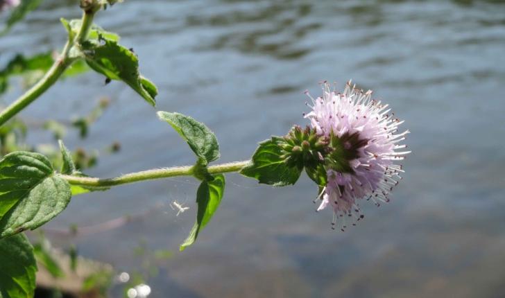Mentha aquatica (L., 1753)