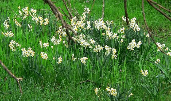Narcissus tazetta (L.,1753)