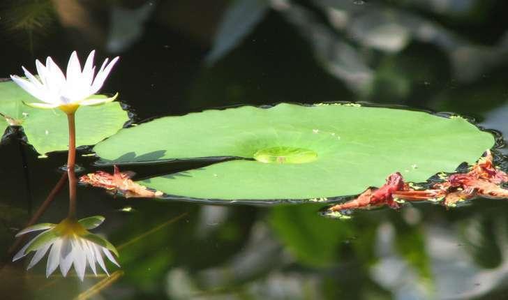 Nymphaea alba (L.,1753)