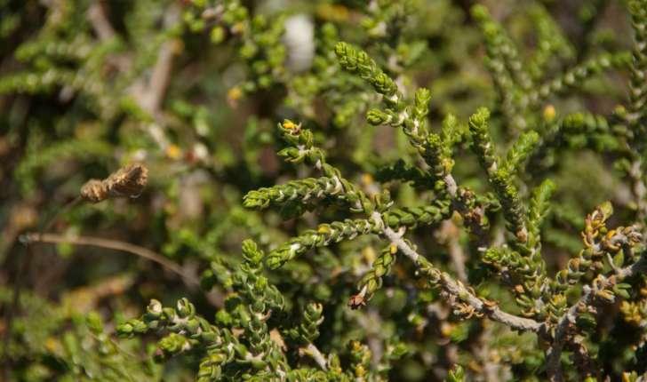 Thymelaea hirsuta (Endlicher, 1847)