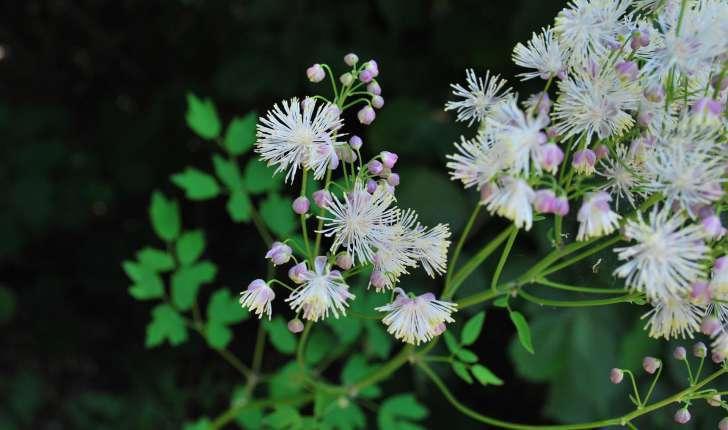 Thalictrum aquilegiifolium (L., 1753)