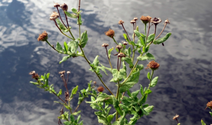 Pulicaria dysenterica (L.) Bernh., 1800