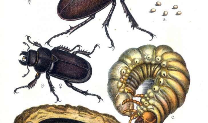 Lucanus cervus (Linné 1758)