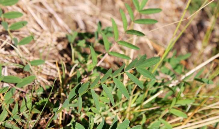 Onobrychis viciifolia subsp. montana ((DC.) Gams, 1924)