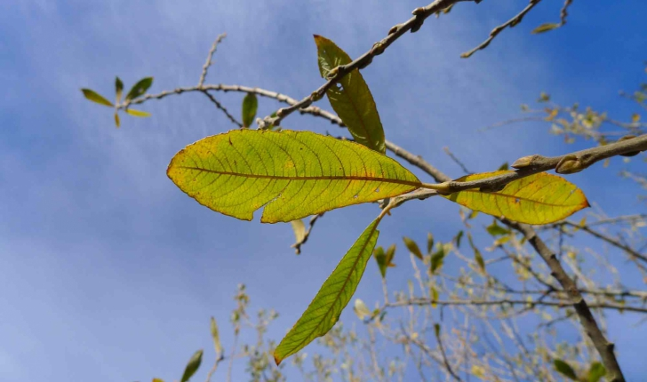 Salix atrocinerea (Brot., 1804)