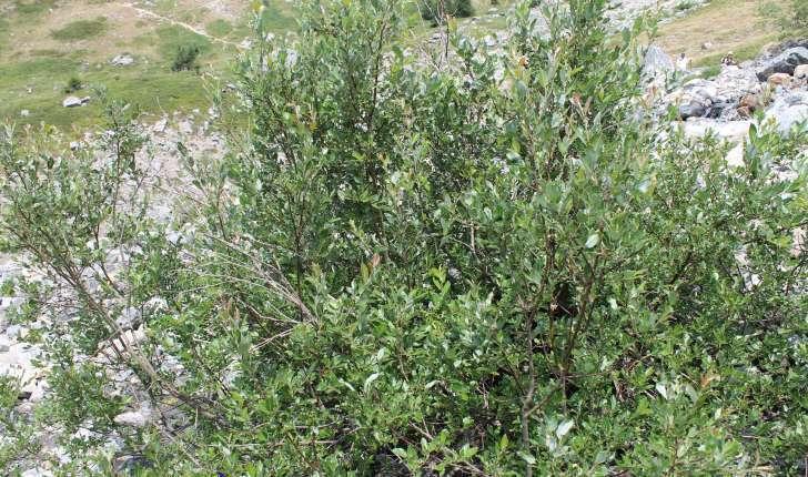 Salix foetida (Schleich. ex DC., 1805)