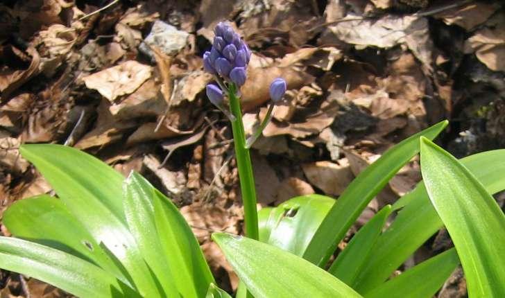 Scilla lilio-hyacinthus L.