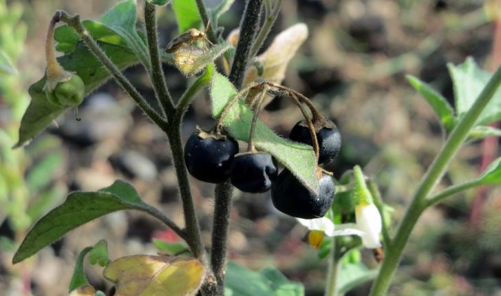 Solanum nigrum L., 1753