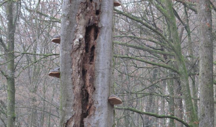 arbre mort- Parc St Valbert- credit ONF