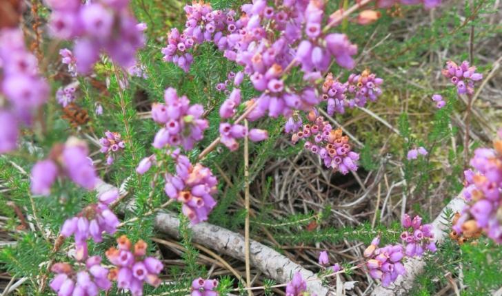 Bruyère cendrée - crédit Parc Naturel Régional des Landes de Gascogne
