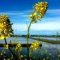 Le jaune des marais ( crédits totogiviste)
