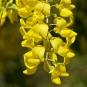 Laburnum alpinum (crédit: Jebulon)