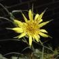 Fleur Salsifis des prés (Crédit : Vulkano)